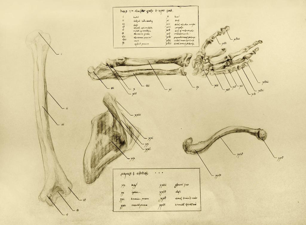 anatomical drawing 05 bones of the arm/shoulder by niitsvee
