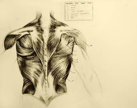 anatomical drawing 03 muscles of the back