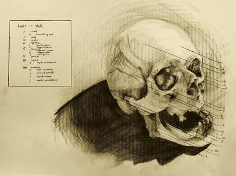 anatomical drawing 02 bones of the skull