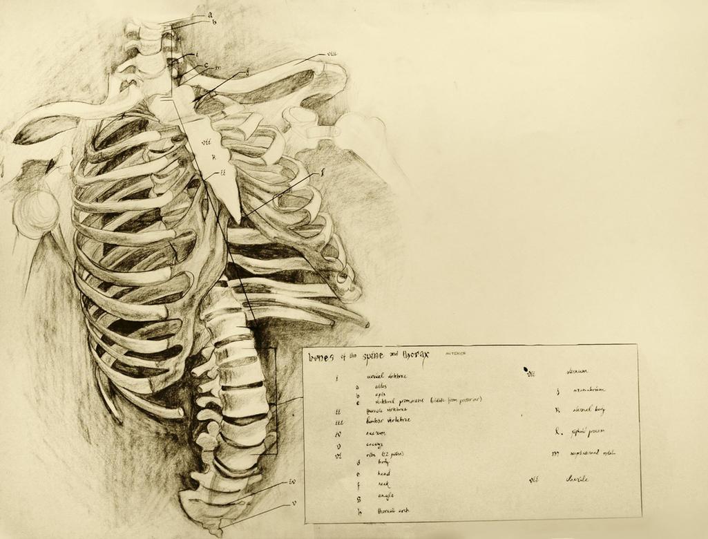 anatomical drawing 01 ribcage by niitsvee on DeviantArt
