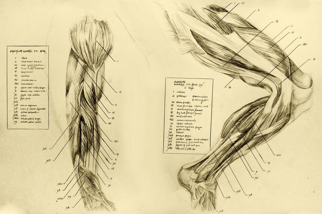 anatomical drawing 06 muscles of the leg by niitsvee on DeviantArt