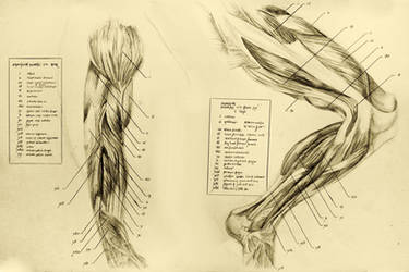 anatomical drawing 06 muscles of the leg