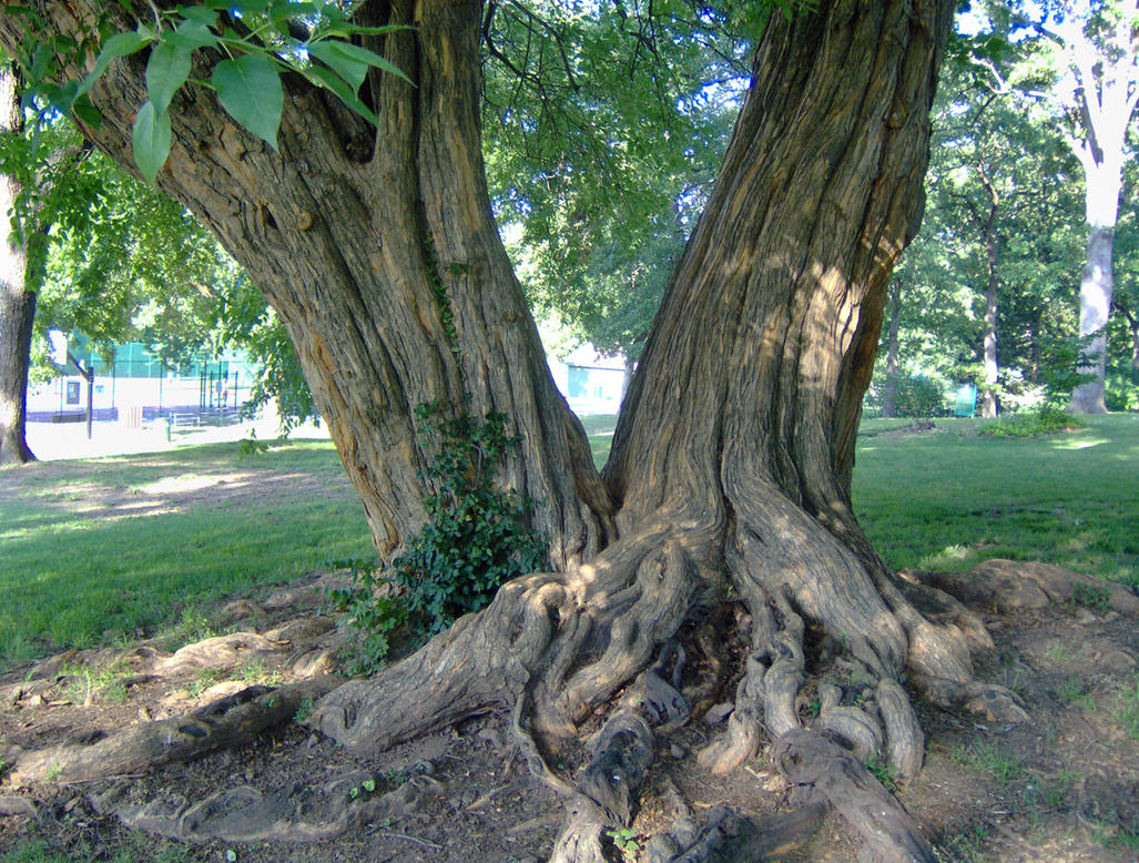 1000 images about trees roots on pinterest old trees tree roots and roots. Black Bedroom Furniture Sets. Home Design Ideas