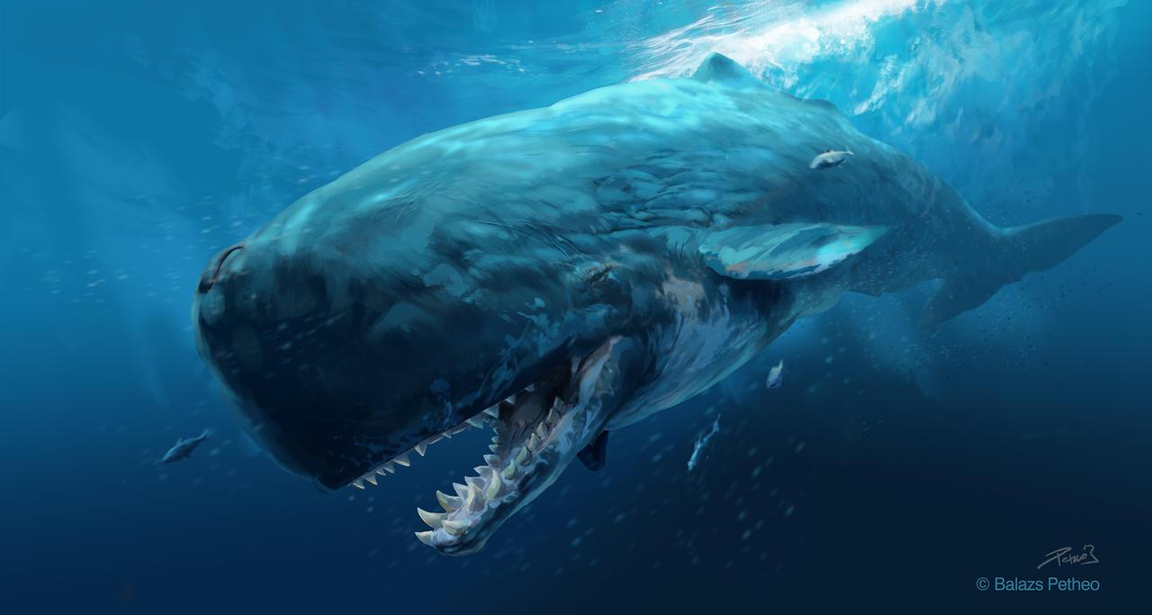 Sperm whale age
