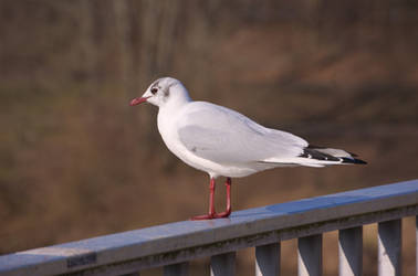 a gull enjoying the first signs of spring