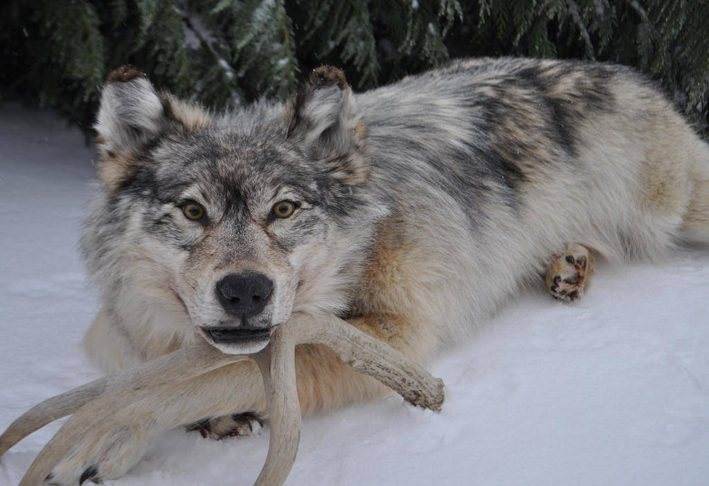 Alaskan Grey Wolf Soft Mount Taxidermy For Sale By