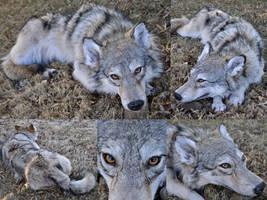 Female Grey Wolf Soft Mount by AlmostAustralian