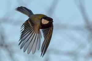 Great Tit in flight by WojciechGrzyb