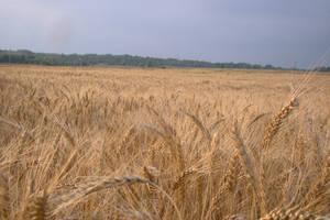 Wheat field 1 by Panopticon-Stock