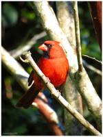 Red Cardinal by EmeraldAngelStudio