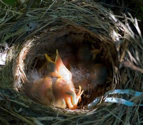 baby birds by Spinnfoto