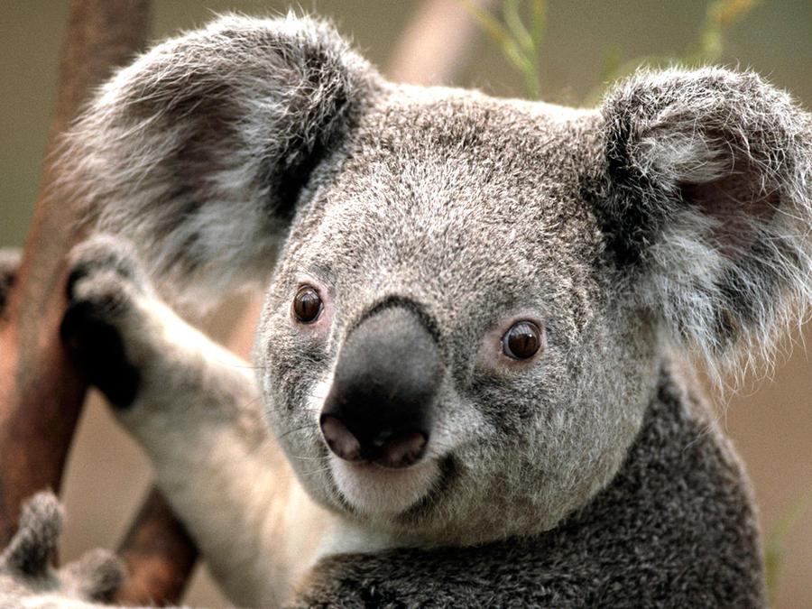 Koala bear. by rohankapur