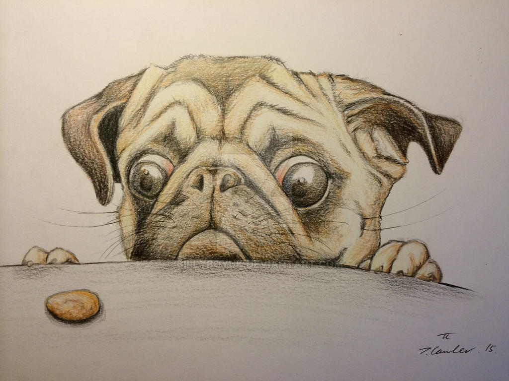 Pug Dog Pencil Drawings Breeds Picture
