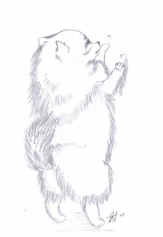 Pomeranian Drawing By Shadowkero