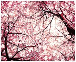 Sakura- Cherry Blossom by PockyCrystal