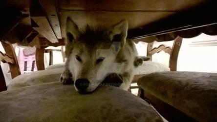 Wolf in Hiding