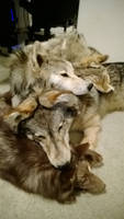 Three Wolves and a Fox