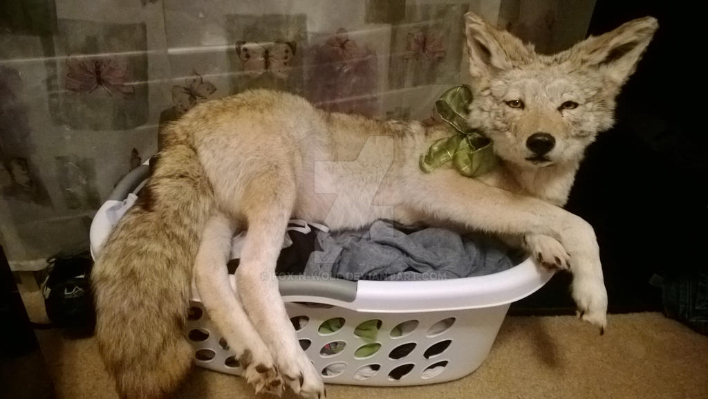 Coyote and a Basket