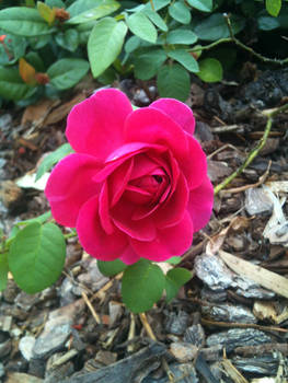 The smallest rose I know
