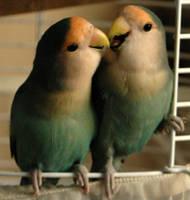 Kissy birds by FennecFoxen