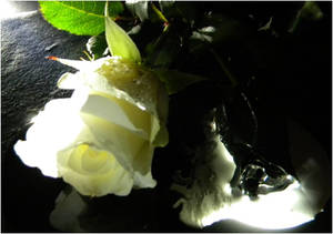 White and Black Rose (angle 2)