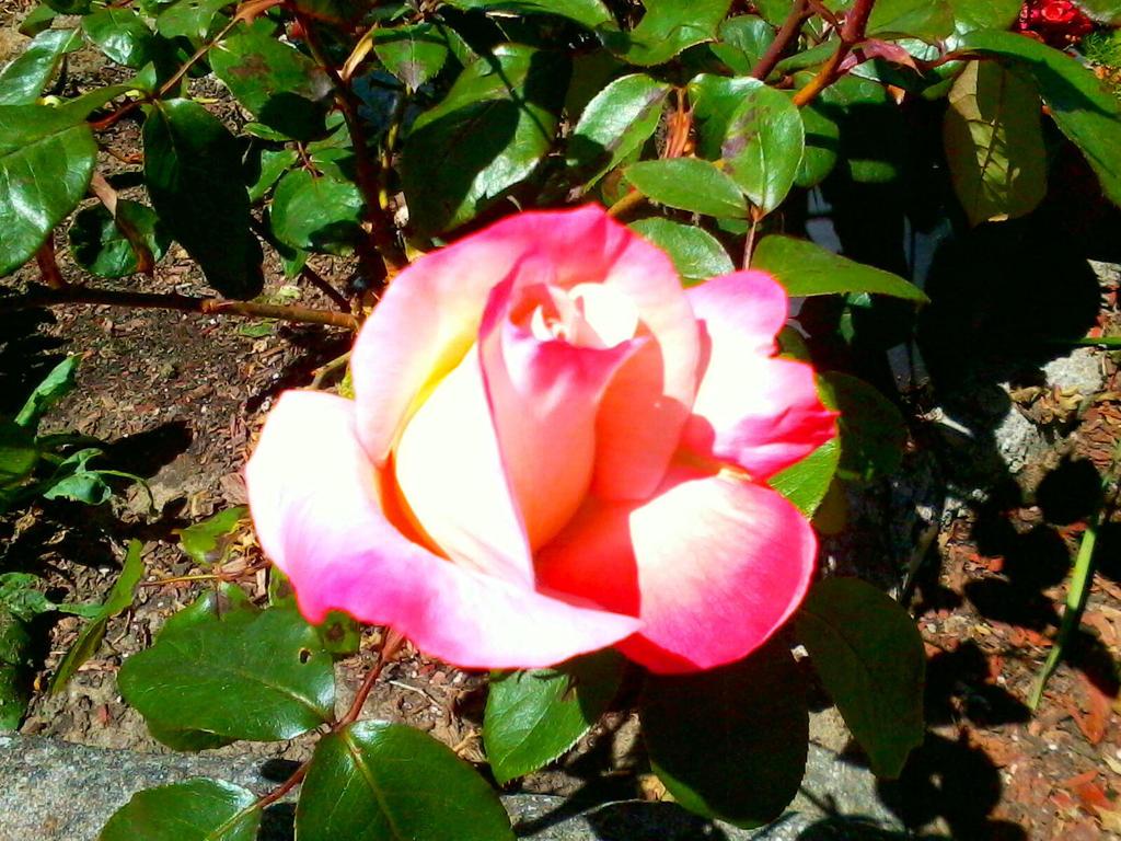 Multi color Rose by Bishounen-Fangirl