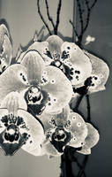 Orchids In Silver II