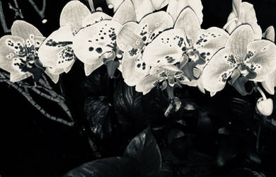 Orchids In Silver III