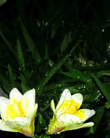 Raindrops On Yellow And White Flowers