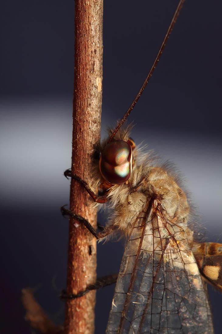 Dragonfly by vvneagleone