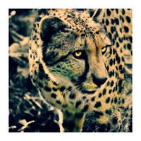 cheetah. by cwiny