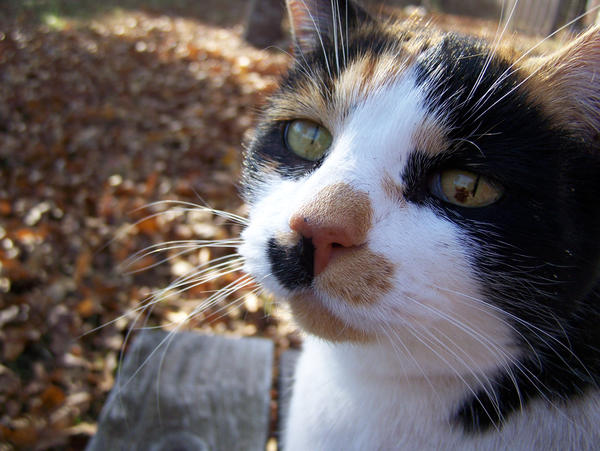 Calico Cat Closeup1 by effing-stock