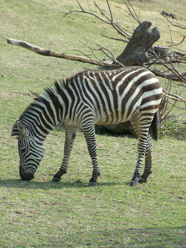 Zebras7 by effing-stock