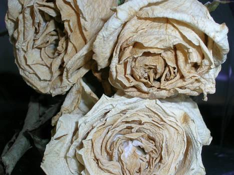 Rosas Secas III