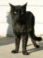 Black cat II by ephedrina-stock