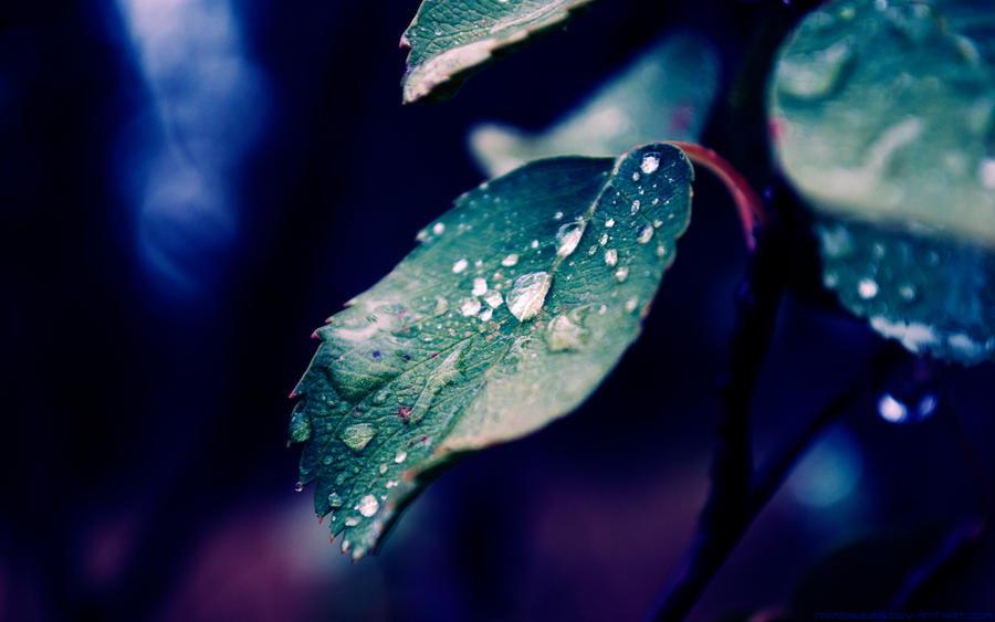 Dew drops on Rose Leaf Wallpaper