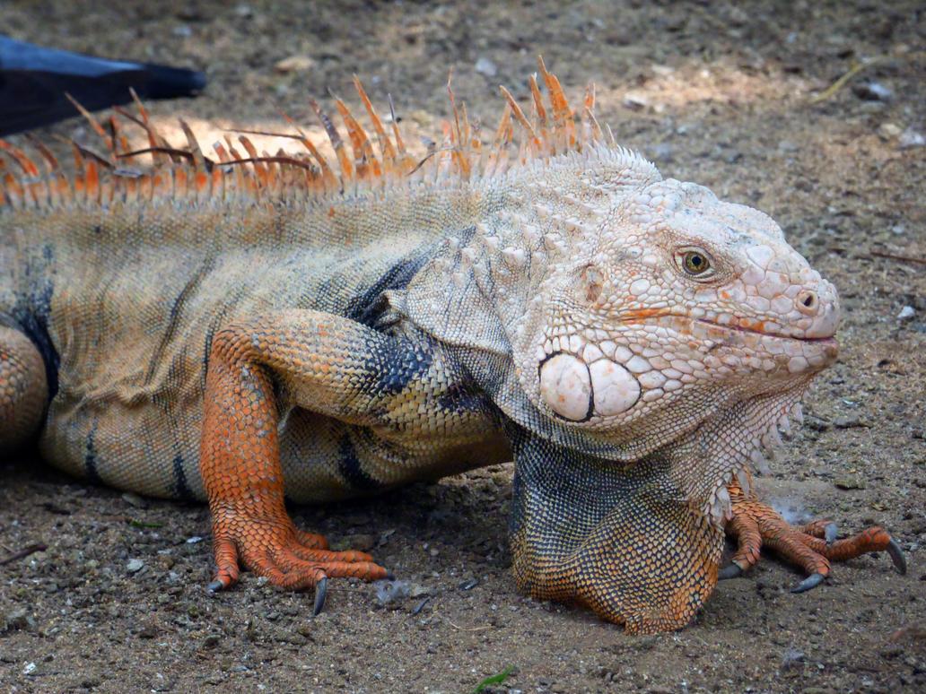 Iguana anaranjada by Tideger