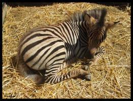Baby zebra by oxalysa