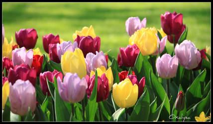 Multicolor tulips by oxalysa