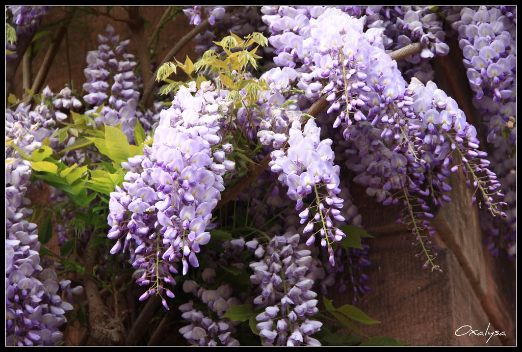 Wisteria By Oxalysa On Deviantart