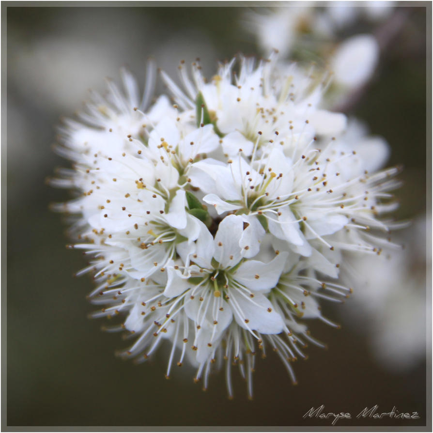 Hawthorn blossom by oxalysa