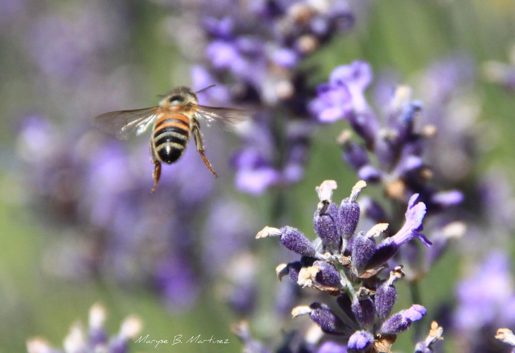 Bee and lavender by oxalysa