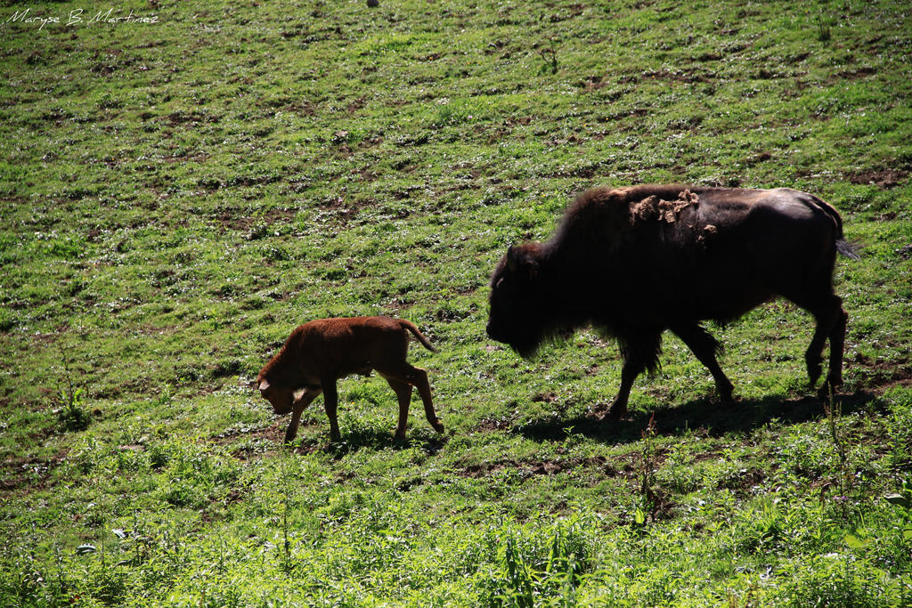 Bison and young by oxalysa