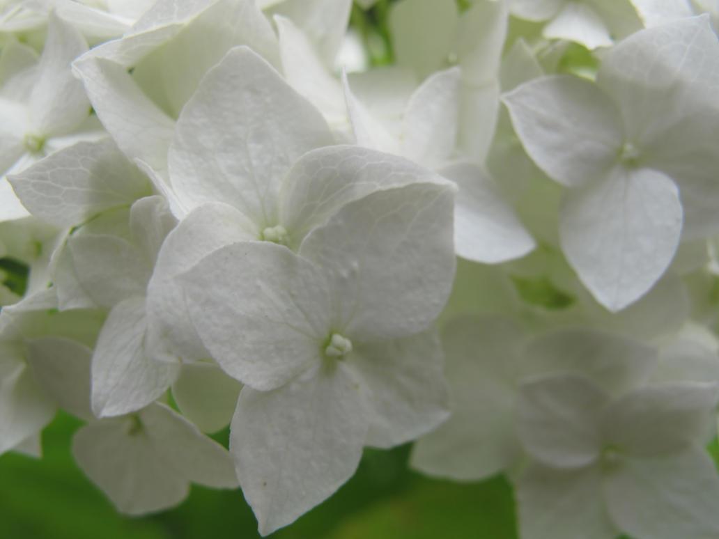 White by Goppo713