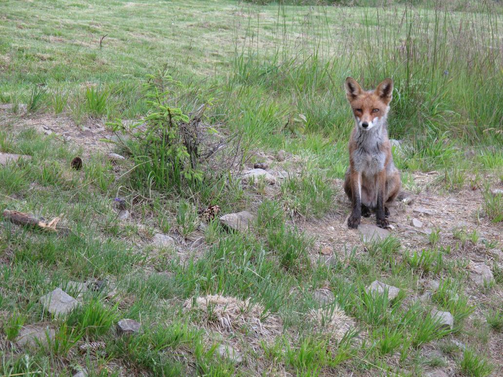 Fox - one eye - by Goppo713