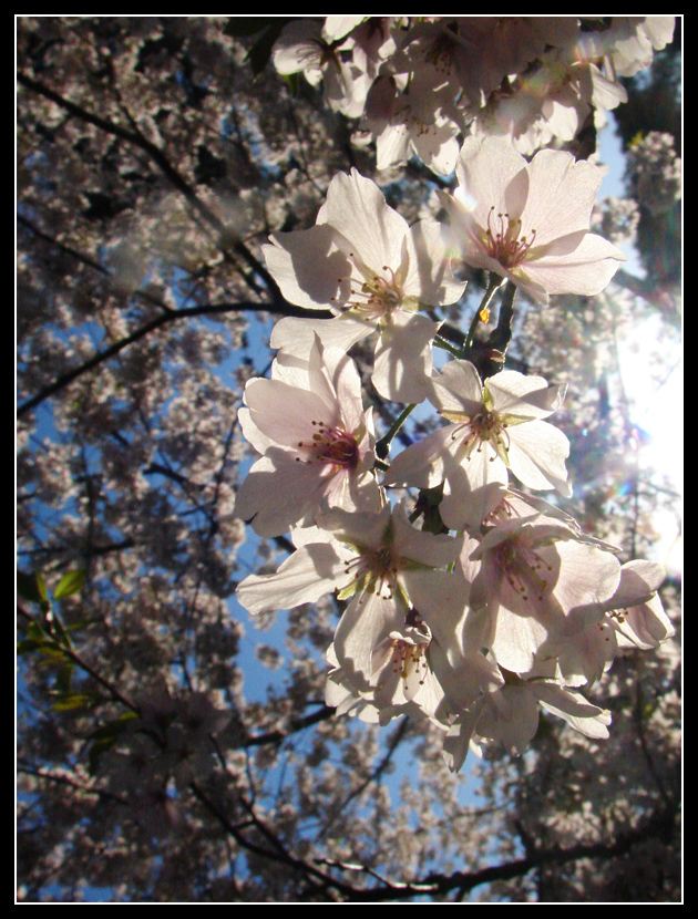 Cherry Blossoms 3 by Taeo