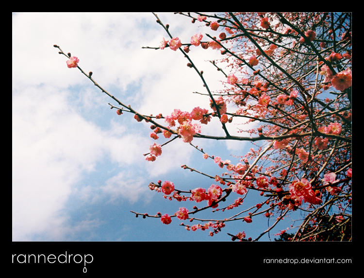 Plum Blossoms In The Sky