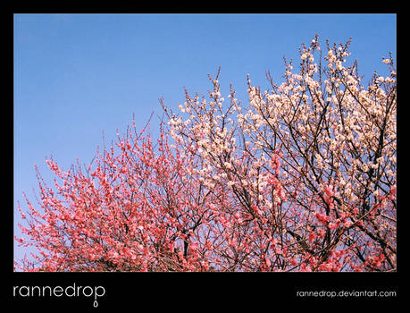 Plum Blossoms In The Sky 2 - Pink With White