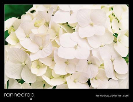Hydrangea - White Like Lace