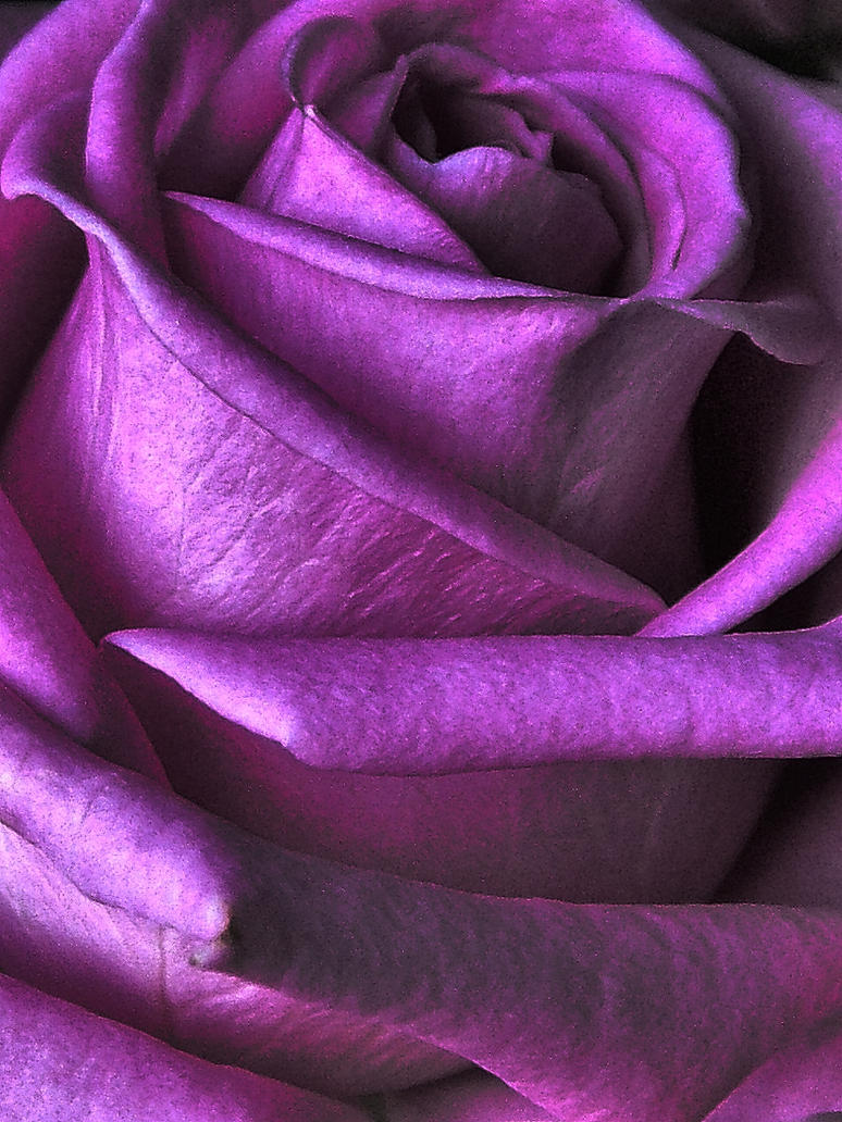 Purple rose 2 by whackeyjackie on deviantart for Purple rose pictures